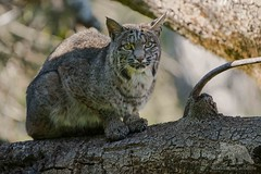 Bobcat (fascinationwildlife) Tags: animal mammal wild wildlife winter nature natur national park coast california usa america feline elusive bobcat lynx rufus luchs rotluchs cat predator tree