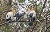 Anhinga Chicks (Anhinga anhinga); Corkscrew Swamp Sanctuary, Florida [Lou Feltz] (deserttoad) Tags: nature trees swamp florida bird wildbird nest anhinga young behavior preserve fish