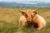 Highland cow on Dartmoor (Keith in Exeter) Tags: cow animal highland breed beast horn hairy lying moorland dartmoor grass landscape nationalpark devon