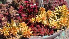 180411 045 Waterwise Botanicals - x Graptosedum 'Vera Higgins', Sedum adolphii, Kalanchoe blossfeldiana 'Garnet', Echeveria harmsii 'Ruby Slippers'