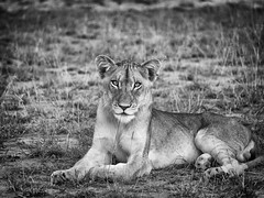 Lioness in the evening (Pixeleater) Tags: 2018 manyeleti march rhulani safari southafrica südafrika lion lioness löwe löwin mamal cat raubkatze