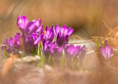 Harbingers of Spring (mclcbooks) Tags: flower flowers floral crocus croci crocuses denverbotanicgardens colorado spring bulbs macro closeup