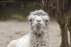 Eddy (JFH-Photo) Tags: kameel bult dpa dierenpark amersfoort dier beest wol animal