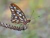 Agraulis vanillae (veltrahez) Tags: miami florida unitedstates us macro life olympus nature zuiko closeup ngc