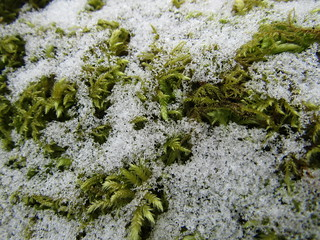 Snowflakes on a mossy tree.