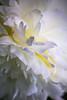 Douce comme un nuage (Essorbal1) Tags: blanche juin macro monjardin pivoine white summer été blanc douceur soft rêve dream nuage cloud flower fleur nature