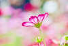 Cosmos, Common Cosmos (Cathy's Photography) Tags: cosmos commoncosmos redcolor red redflowers redflower flower flowers wild wildflower outdoor outside macro closeup closeupflower canon canon5d canon5dmarkiv markiv f71 100mm ef100mmmacro 150s iso400 blur