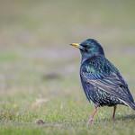 European Starling thumbnail