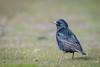 European Starling (Becky Matsubara) Tags: avian bird birds eust estorninopinto europeanstarling middleharborshorelinepark nature outdoors starling sturnusvulgaris wildlife étourneausansonnet middleharbor oakland