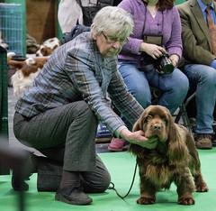GAZ_1233 (garethdelhoy) Tags: dog sussex spaniel crufts 2018 kennel club