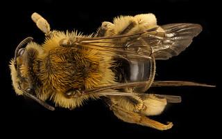 Andrena helianthi, u, back, Hartville Ohio_2018-03-06-20.23