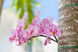 Key West - Orchid on a Palm tree
