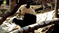 2018_03-18b (gkoo19681) Tags: beibei chubbycubby fuzzywuzzy adorableears treattime sugarcane soyummy sunkissed comfy toofers meltinghearts precious toocute sogrownup beingadorable contentment cooldude ccncby nationalzoo