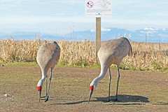Sandhill Cranes 18-0311-7609 (digitalmarbles) Tags: sandhillcrane sandhillcranes sandhill crane cranes gruscanadensis gruiformes grass trail weeds foliage shadows sign mountains snowcapped sky clouds nature wildlife animal bird birds birder birdphoto birdphotography wildlifephotography reifel sanctuary reifelsanctuary deltabc lowermainland bc britishcolumbia canada canon eos rebel t7i