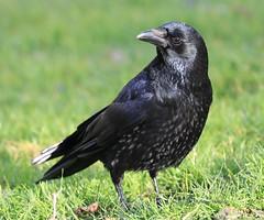 corneille (tineandthecats@gmail.com) Tags: corneille corvidé ornithologie