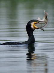 The tale of two eyes (A_K_B) Tags: cormorant fish fishing catch eat eating dive eyes nikon200500mm nikon