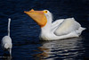 White Pelican with Breeding Horn (dngovoni) Tags: merrittisland action bird florida pelican water whitepelican wildlife