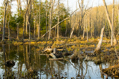 Swamp in Mason Neck 2 (dzmears) Tags: tree trees water landscape scenery lovely peaceful forest scenic woods day green leaves park swamp pretty