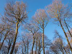 Chartersfield Wood (Bruce Clarke) Tags: wood olympus oxfordshire winter woods outdoor landscape bluesky trees copse m43 beeches beech chilterns barebranches chartersfieldwood 714mmf28 woodland omdem1 lookingup treesinbud wyfoldcourt forestrycommission