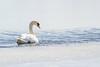 Swan (Mikael Edberg) Tags: swan bird swim water ice snow winter blue white sweden
