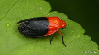 Froghopper, Cercopidae