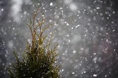 Springtime wheather (STTH64) Tags: snowing tree dof bokeh spring wheather