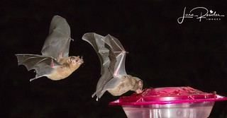 Pallas' Long-tongued Bats..this was my first attempt at night photography and with the guidance of my photography buddies, I don't think I would have been able to get any shots...Thank you!