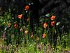Spring Mallorca (Geminiature Nature+Landscape Photography Mallorca) Tags: spring lente primavera mallorca flores flowers bloemen poppys klaprozen amapolas campo countryside platteland