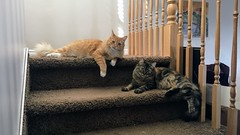 Guardians of the Landing (LionessLeesha) Tags: cats stairs youshallnotpass ginger tortie tortoiseshell kitty kittens sisters stairway landing pet cat