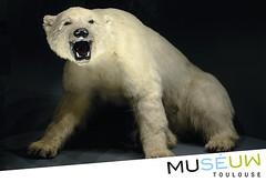 79x54mm // Ourse // Muséum de Toulouse