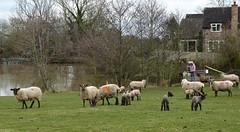Golden Valley, Castlemorton. (jenichesney57) Tags: sheep common goldenvalley castlemorton worcestershire water people house pond gate spring lambs panasoniclumixtz60 grass