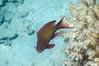 Pseudanthias squamipinnis (NakaRB) Tags: egypt redsea hurghada fortarabesque5 osteichthyes perciformes serranidae pseudanthiassquamipinnis male 2014