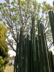 Cactus. (yaotl_altan) Tags: cactus cactuses cacti kaktus cacto hidalgo méxico actopan mexico messico mexique mèxic mexiko ка́ктус