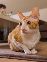 _P1011746_cut (daniel kuhne) Tags: cats katzen cornishrex stubentiger mft epl3