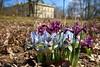 Iris / Kosatce (ZdenHer) Tags: iris flowers park macro