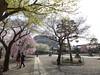 18o2839 (kimagurenote) Tags: 護国寺 gokokuji temple 桜 sakura prunus cerasus cherry blossom flower 東京都文京区 bunkyotokyo bunkyōtokyo