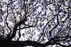 follow your dreams... (maotaola) Tags: flickrfriday dream purple backlit silhouette branches ramas silueta árbol jacarandatree jacarandablossoms filltheframe canoneos cof020 cof020dmnq cof020uki cof020chri cof020pasc cof20ally