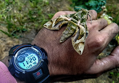 Moth G-Shock hand (Ahmed N Yaghi) Tags: gshock watch hand moth dead big green time black dust gaza nature life