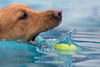 All About Dogs ~ K9 Aqua (ToriAndrewsPhotography) Tags: all about dogs k9 aqua april 2018 ipswich trinity park swimming pool ball catch splash photography andrews tori