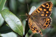 Pararge aegeria (Adrià Páez) Tags: pararge aegeria butterfly insect macro canon eos 7d mark ii nature albufera mallorca illes balears islas baleares balearic islands spain europe natural de la orange parc
