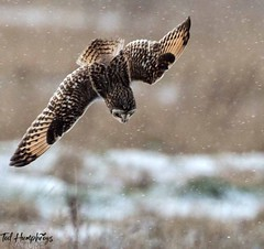 Dive dive dive (Ted Humphreys Nature) Tags: shortearedowl owls rptors birdsofprey england tedhumphreysnature