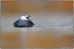 Red throated loon (RKop) Tags: raphaelkopanphotography d500 nikkor600f4evr 14xtciii newjersey belmar