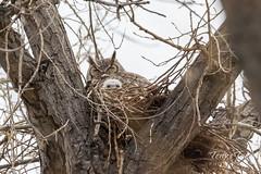 Little owlet makes an appearance