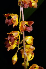 Gomesa silvana (Nurelias) Tags: beautiful color colorful d7100 nikon fleur flora flore flores flower flowers forest macro makro orchid orchidaceae orchidales orchidee orchideen orchids orquidea photography rainforest tropical exhibition international dresden