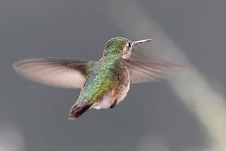 Stubby Tail, Calliope Hummingbird