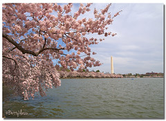 Pink cherry blossoms  at the Washington, DC. (Betty Vlasiu) Tags: washingtondc cherry blossoms tidal basin