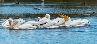 White Pelicans (in explore)