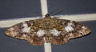 Letis specularis - Letis Moth (Hübner, 1821)
