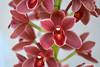 Cymbidium Mem. James Burson 'Ori Gem' (Dylan's Orchids) Tags: cymbidium mem james burson ori gem fifi x phar lap