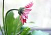 Listen (tmattioni) Tags: daisy pink flower spring smileonsaturday 7dwf springflower20172018 gerbera
